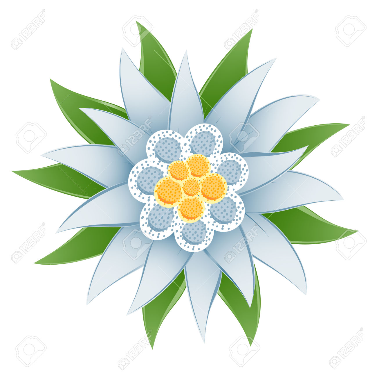 Edelweiss (Leontopodium Alpinum) Flower Royalty Free Cliparts.