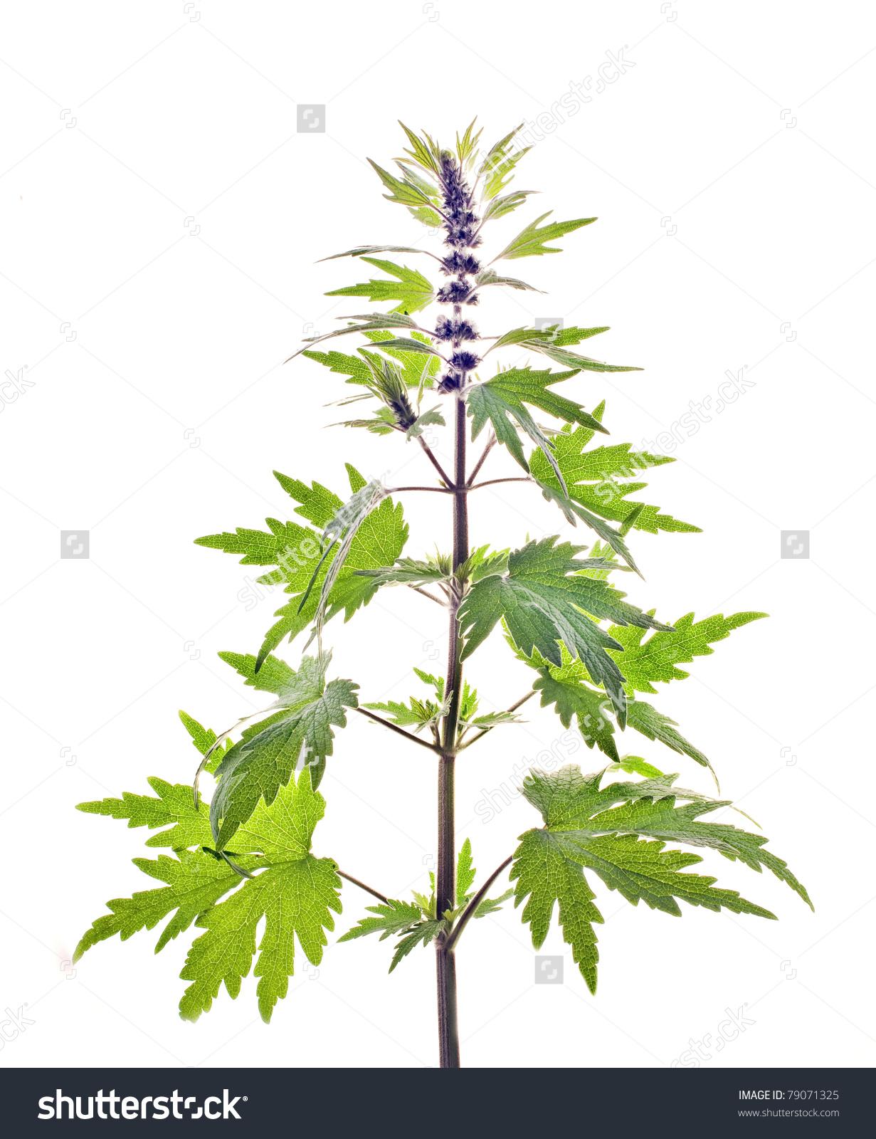 Motherwort, Leonurus L. Stock Photo 79071325 : Shutterstock.