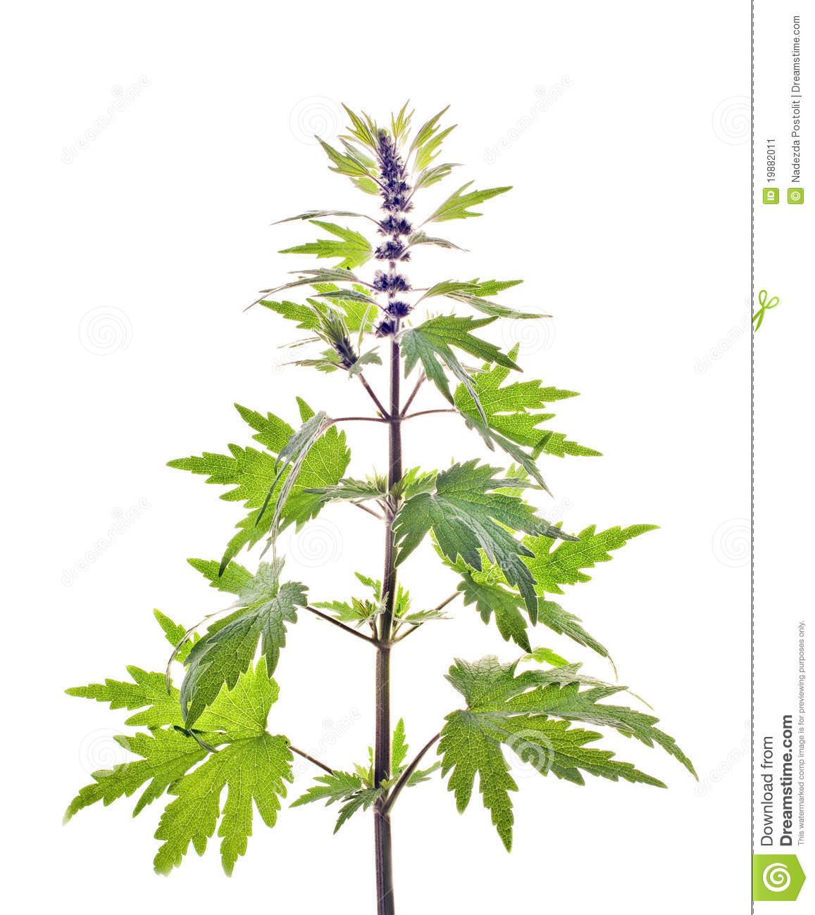 Motherwort, Leonurus L. Stock Image.