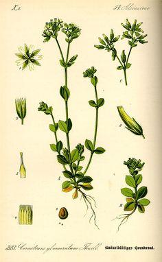 Motherwort: Leonurus cardiaca.