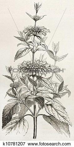 Stock Illustration of Leonotis Leonurus k10781207.
