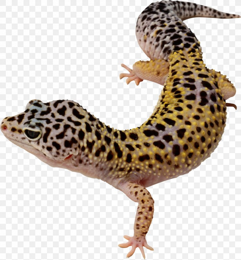 Common Leopard Gecko Lizard East Indian Leopard Gecko Clip.