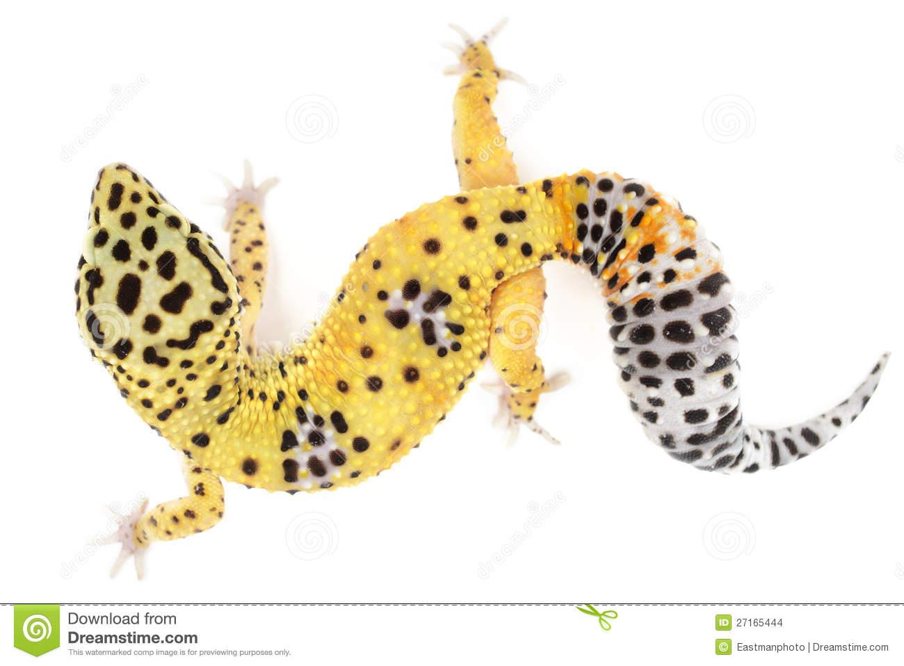 Leopard gecko clipart 1 » Clipart Station.