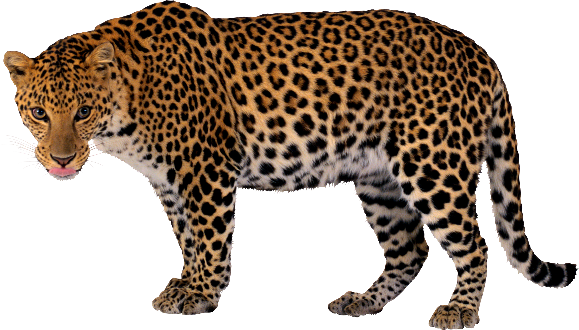 Leopard PNG images free download.