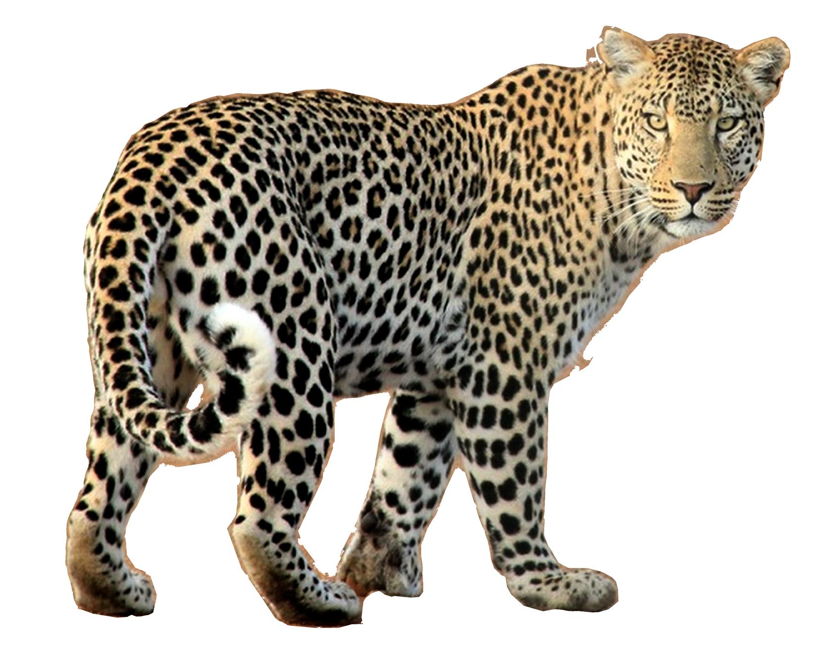 Leopard PNG Image.