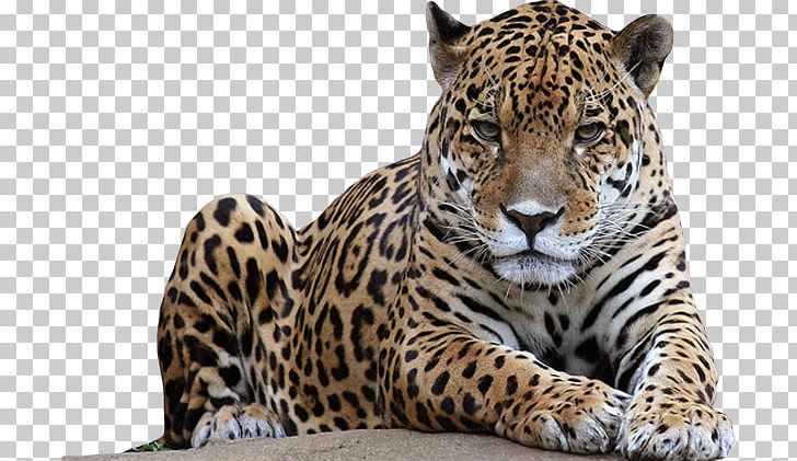 Leopard PNG, Clipart, Leopard Free PNG Download.