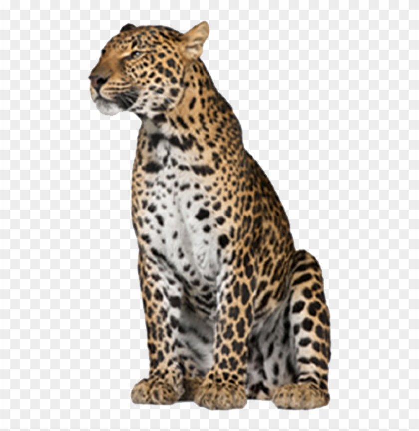 Leopard Png Free Download.