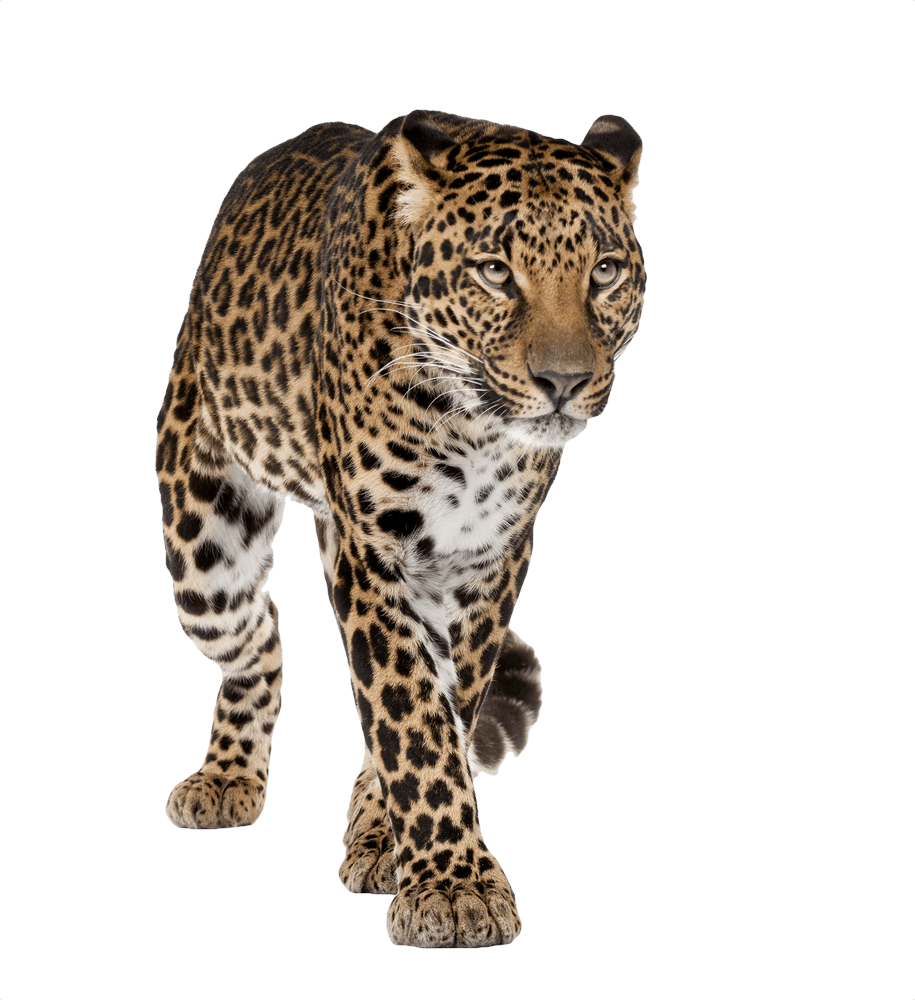 Leopard Walking Front transparent PNG.