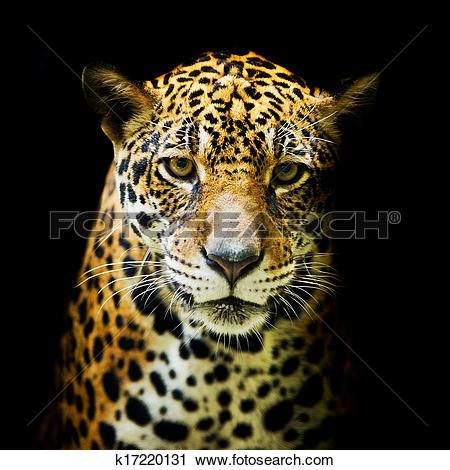 Stock Photography of Leopard portrait k17220131.