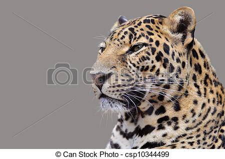 Stock Photographs of Isolated portrait of Leopard.