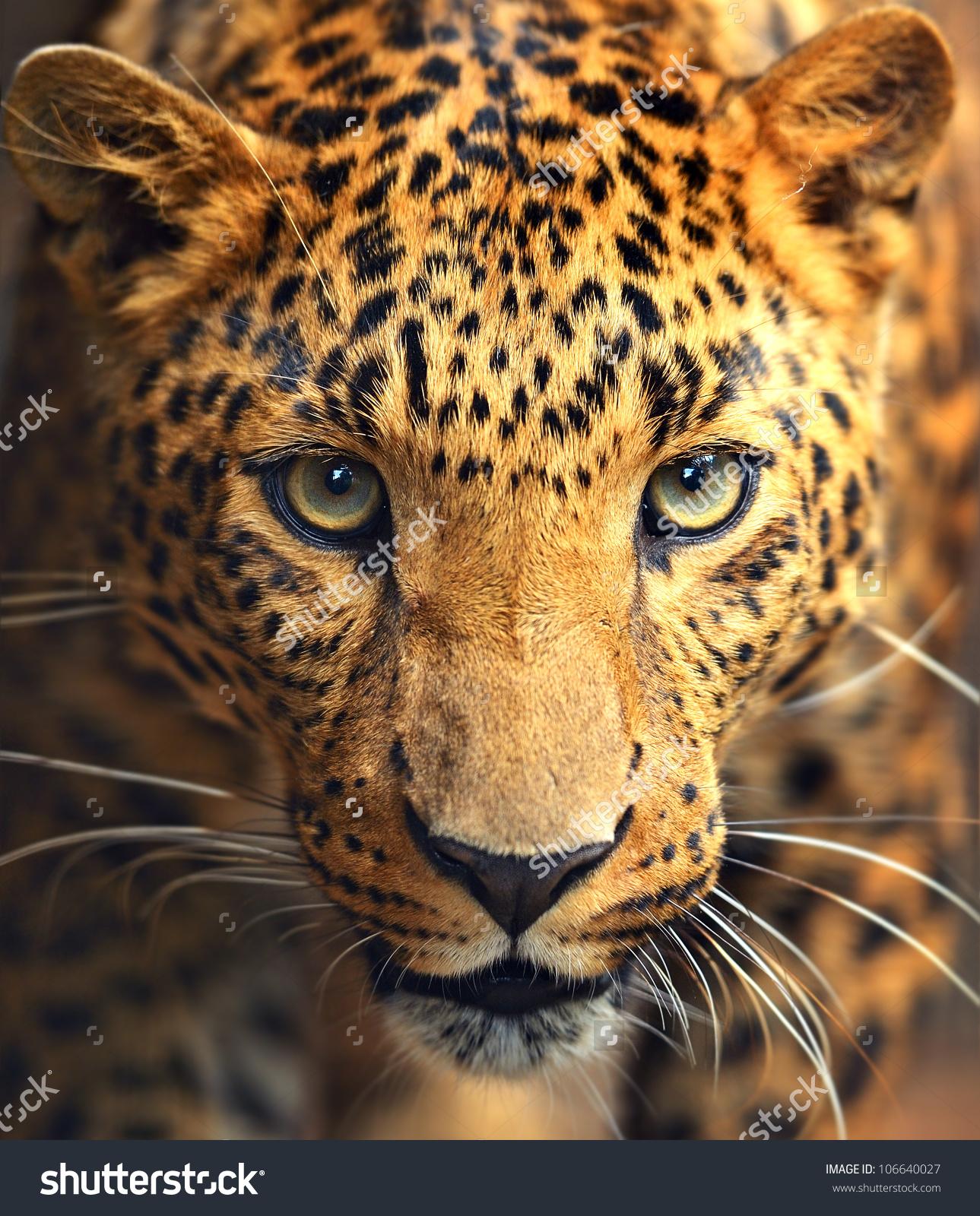 Leopard Portrait Stock Photo 106640027 : Shutterstock.