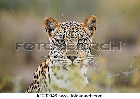 Stock Images of Leopard portrait k1233946.