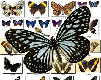 Lepidoptera clipart.