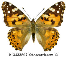 Lepidoptera Illustrations and Clipart. 574 lepidoptera royalty.