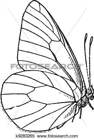 Clipart of Lepidopteran or Lepidoptera, vintage engraving k9283265.