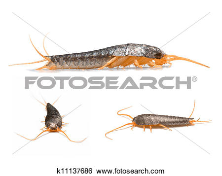 Stock Images of Silverfish.