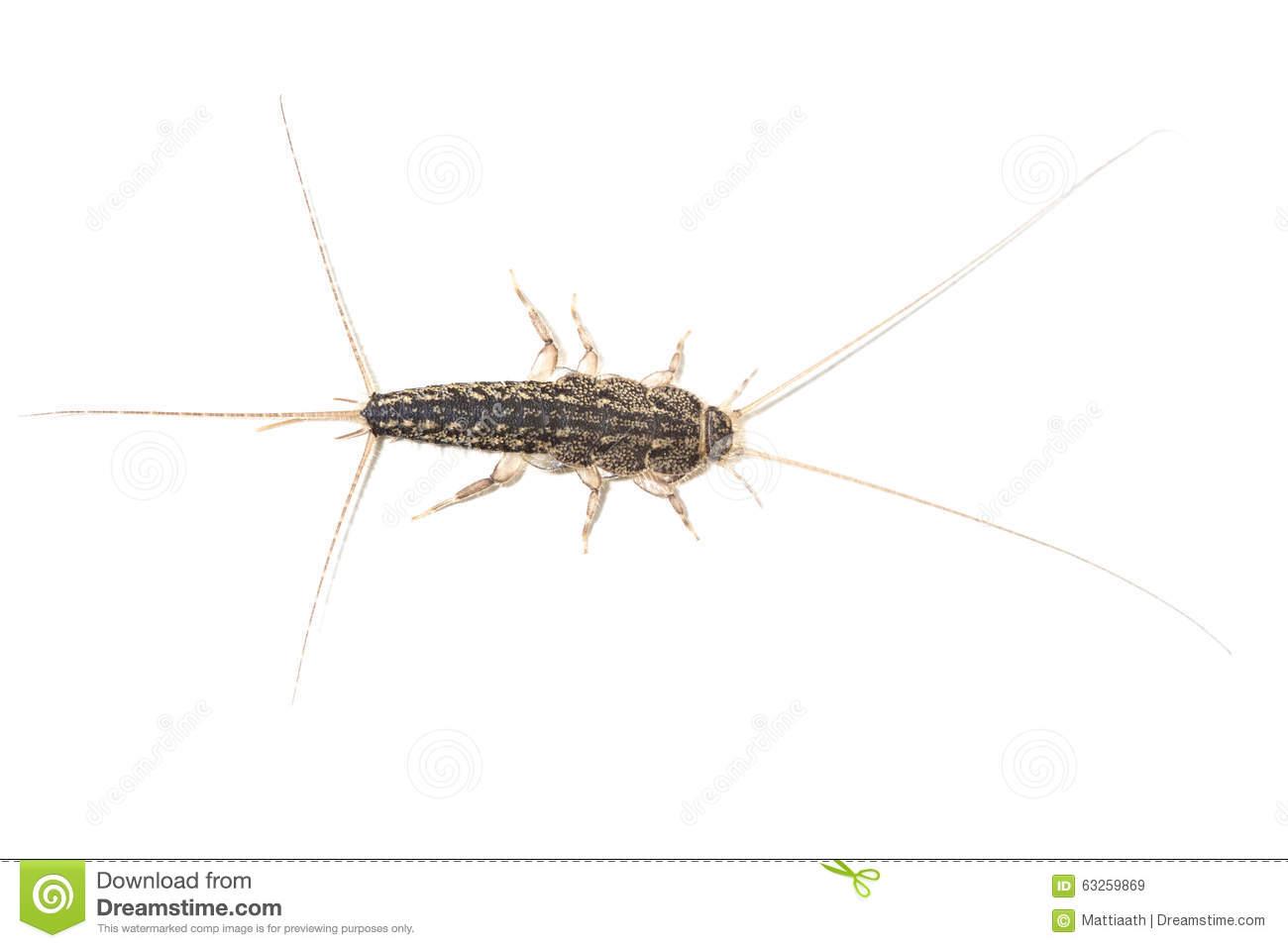 Lepisma Saccharina Bugs Stock Images.