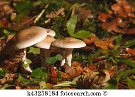 Clitocybe nebularis Stock Photo Images. 16 clitocybe nebularis.