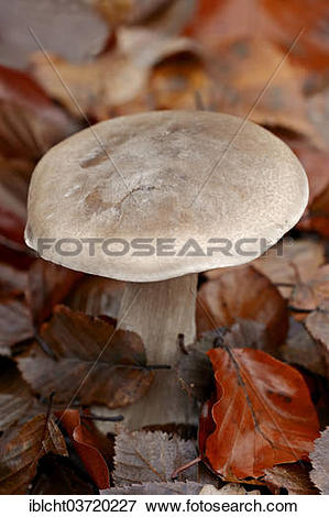 """Picture of """"Clouded Agaric or Cloud Funnel (Lepista nebularis."""