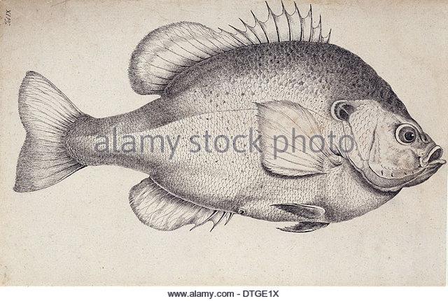 Sunfish Stock Photos & Sunfish Stock Images.