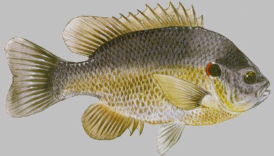 red ear sunfish.