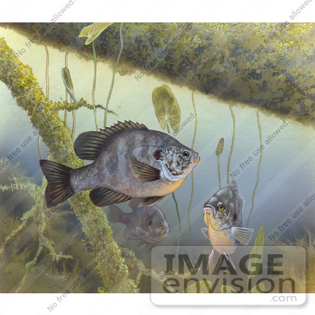 Picture of a Redear Sunfish (Lepomis microlophus).