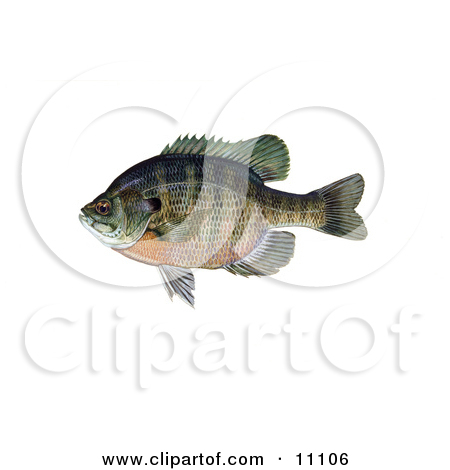 Clipart Illustration of a Bluegill Fish (Lepomis macrochirus) by.