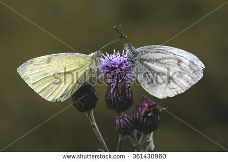 Twin Butterfly Stock Photos, Royalty.