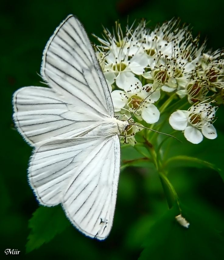 1000+ images about Lovely Butterflies on Pinterest.