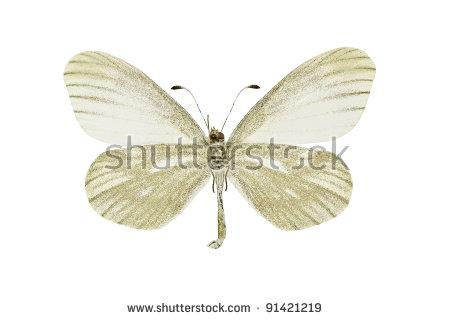 Emerald Swallowtail Butterfly Papilio Palinurus Stock Photo.