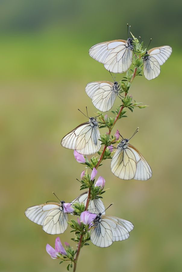 1000+ images about Beautiful Butterflies on Pinterest.