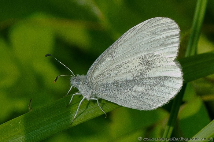 Wood White Butterfly (Leptidea sinapis).