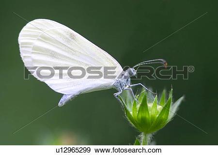 Stock Photograph of White butterflies u12965299.