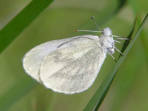 Leptidea sinapis on euroButterflies by Matt Rowlings.