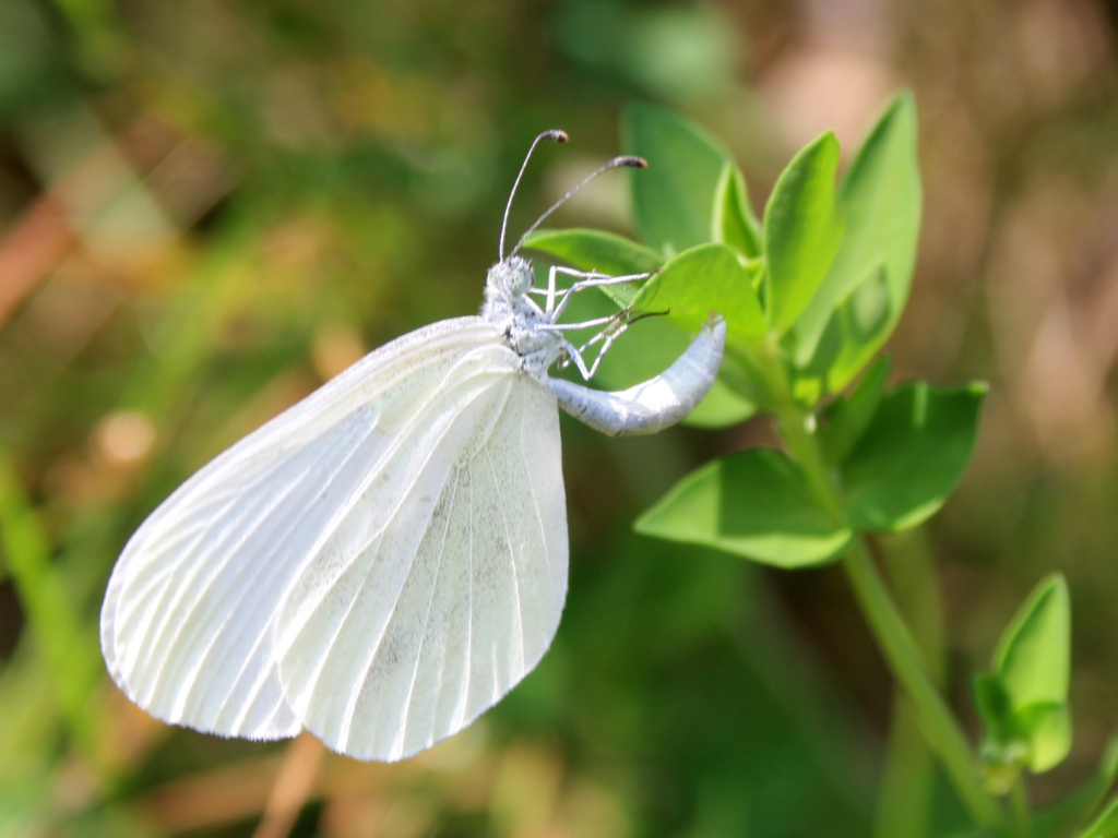 Butterflies Wood White (Leptidea sinapis).