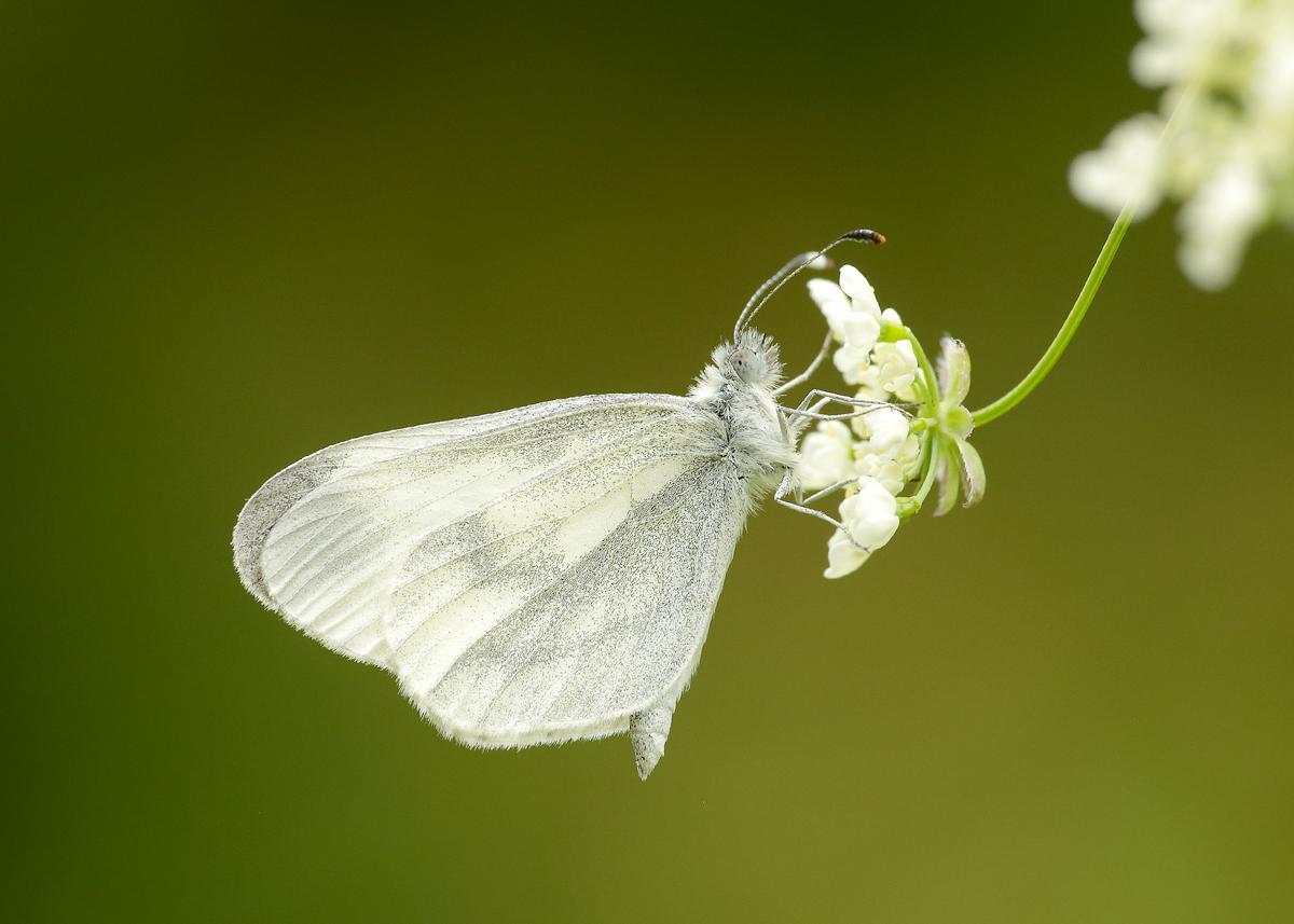 UK Butterflies.