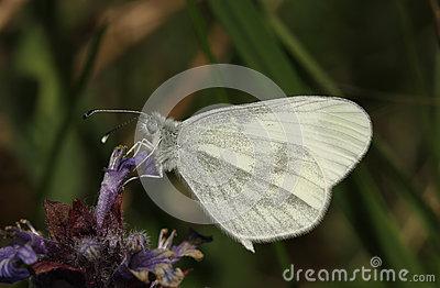 Leptidea Sinapis Stock Image.