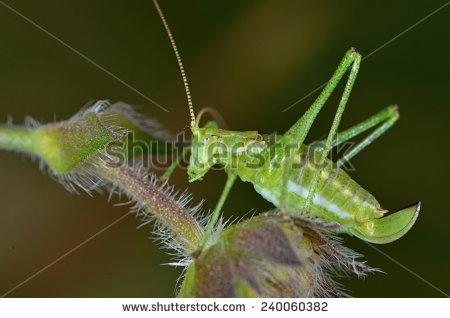 Leptophyes Albovittata Stock Photo 240060382 : Shutterstock.