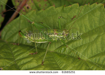 Speckled Bush Cricket Stock Photos, Images, & Pictures.