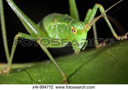 Stock Photo of Speckled bush Cricket Leptophyes puctatissima on.