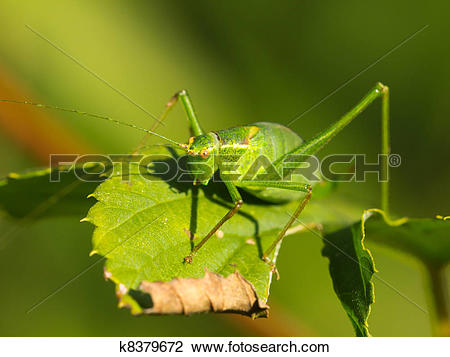 Stock Photo of Female of a speckled bush.
