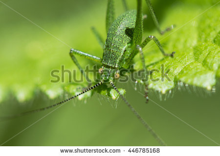 Bush Cricket Stock Photos, Royalty.