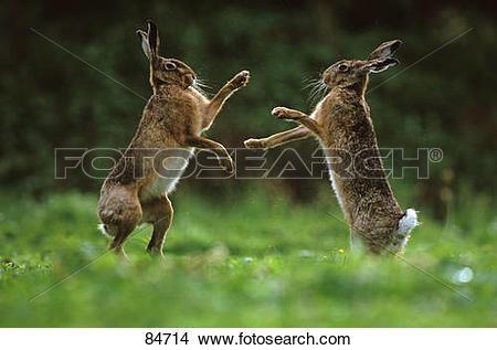 Stock Photo of two European hares.