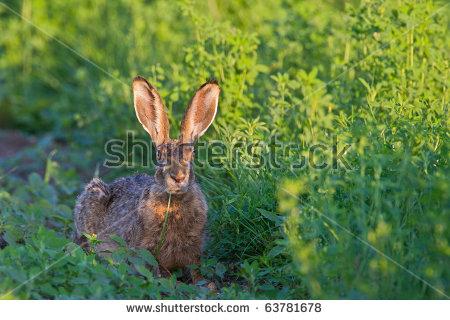 Lepus Europaeus Stock Photos, Royalty.