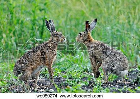 Stock Photo of Couple of European brown hare, Lepus europaeus.