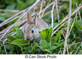 Stock Photo of Brown hare (Lepus europaeus) csp27663426.