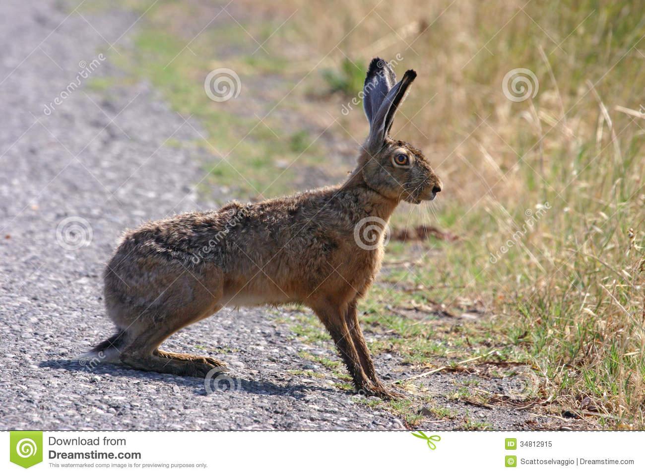 Alert Brown Hare (Lepus Europaeus). Royalty Free Stock Photo.