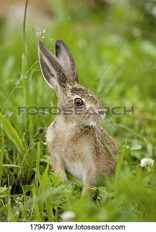 Stock Photo of European Brown Hare (Lepus europaeus). Juvenile in.