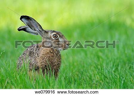 Stock Images of European brown hare, Brown hare, Lepus europaeus.