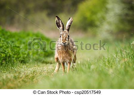 Stock Photo of European hare (Lepus europaeus) on the green field.